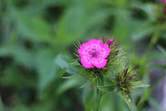 Λουλούδι γαρίφαλων Στοκ εικόνες με δικαίωμα ελεύθερης χρήσης