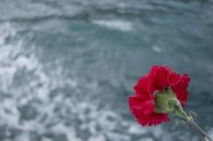 Λουλούδι γαρίφαλων Στοκ Εικόνες