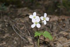 Λουλούδι γαλακτοπωλών στη φύση Στοκ εικόνες με δικαίωμα ελεύθερης χρήσης