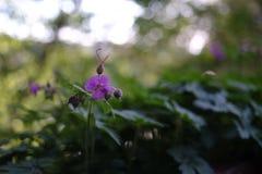 Λουλούδι γερανιών Στοκ Φωτογραφίες