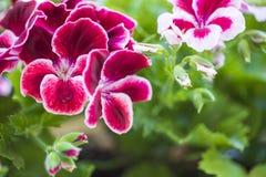 Λουλούδι γερμανίου του Μπορντώ που απομονώνεται από άλλους στο πράσινο φύλλωμα Στοκ Φωτογραφία