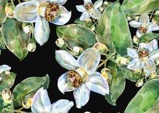 Λουλούδι γκρέιπφρουτ, watercolor, σχέδιο άνευ ραφής Στοκ φωτογραφία με δικαίωμα ελεύθερης χρήσης