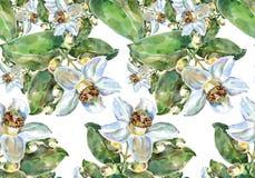Λουλούδι γκρέιπφρουτ, watercolor, σχέδιο άνευ ραφής Στοκ Εικόνες