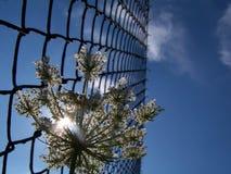 Λουλούδι γλυκάνισου Στοκ φωτογραφία με δικαίωμα ελεύθερης χρήσης