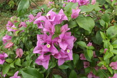 Λουλούδι εγγράφου Bougainvillea Στοκ εικόνες με δικαίωμα ελεύθερης χρήσης