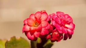Λουλούδι εγκαταστάσεων νεφριτών Στοκ φωτογραφία με δικαίωμα ελεύθερης χρήσης