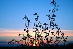 Λουλούδι εγκαταστάσεων σκιαγραφιών ενάντια στον ήλιο ρύθμισης Στοκ Εικόνες