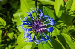 Λουλούδι εκατοντάρχων Στοκ φωτογραφία με δικαίωμα ελεύθερης χρήσης