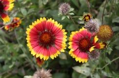 Λουλούδι ενός κοινού gaillardia Στοκ φωτογραφία με δικαίωμα ελεύθερης χρήσης