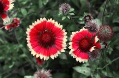 Λουλούδι ενός κοινού gaillardia Στοκ εικόνες με δικαίωμα ελεύθερης χρήσης