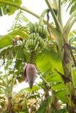 Λουλούδι ενός φοίνικα μπανανών Στοκ φωτογραφίες με δικαίωμα ελεύθερης χρήσης