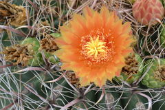 Λουλούδι ερήμων Στοκ Φωτογραφίες