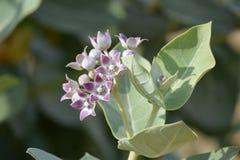 Λουλούδι ερήμων στοκ εικόνες