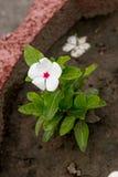 Λουλούδι λευκό λουλουδιών Χαριτωμένο καταπληκτικό λουλούδι λουλουδιών χρωματισμένο λουλούδι Ηλιόλουστο λουλούδι λουλουδιών λουλου Στοκ Φωτογραφίες