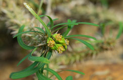 Λουλούδι ευφορβίας Στοκ Εικόνες
