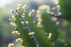 Λουλούδι ευφορβία-Antiquorum Στοκ Εικόνες