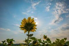 Λουλούδι ηλίανθων στοκ εικόνες με δικαίωμα ελεύθερης χρήσης