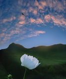 Λουλούδι ηλιοβασιλέματος βουνών Στοκ φωτογραφίες με δικαίωμα ελεύθερης χρήσης