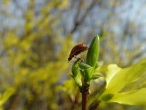 Λουλούδι θάμνων Forsythia με τη μέλισσα Στοκ εικόνα με δικαίωμα ελεύθερης χρήσης
