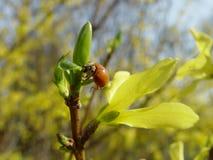 Λουλούδι θάμνων Forsythia με τη μέλισσα Στοκ Εικόνες