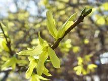 Λουλούδι θάμνων Forsythia Στοκ φωτογραφίες με δικαίωμα ελεύθερης χρήσης