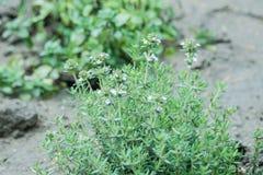 Λουλούδι θυμαριού Στοκ φωτογραφία με δικαίωμα ελεύθερης χρήσης