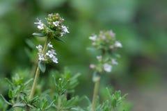 Λουλούδι θυμαριού Στοκ Εικόνα