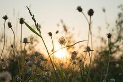 Λουλούδι λιβαδιών με κάποιο φως φλογών στο αγρόκτημα το βράδυ Στοκ Εικόνες