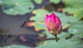 Λουλούδι ΙΙΙ Lotus Στοκ Εικόνες