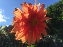 Λουλούδι Ισλανδία Haafell στοκ φωτογραφία