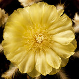 Λουλούδι κάκτων με τα κίτρινα φύλλα στο τετραγωνικό πλαίσιο Στοκ φωτογραφία με δικαίωμα ελεύθερης χρήσης