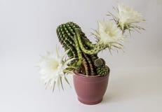 Λουλούδι κάκτων στο λευκό Στοκ Εικόνα