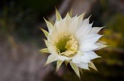 Λουλούδι κάκτων Στοκ Εικόνες