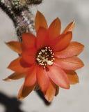 Λουλούδι κάκτων Lobivia Στοκ φωτογραφία με δικαίωμα ελεύθερης χρήσης