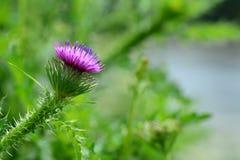 Λουλούδι κάρδων Στοκ εικόνα με δικαίωμα ελεύθερης χρήσης