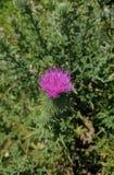 Λουλούδι κάρδων Στοκ φωτογραφίες με δικαίωμα ελεύθερης χρήσης