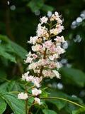 Λουλούδι κάστανων αλόγων Στοκ εικόνες με δικαίωμα ελεύθερης χρήσης