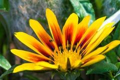 Λουλούδι κήπων με λίγη αράχνη άλματος Στοκ Εικόνα