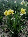 Λουλούδι κήπων νάρκισσοι Στοκ Εικόνες