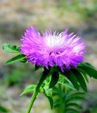 Λουλούδι κήπων Στοκ εικόνες με δικαίωμα ελεύθερης χρήσης