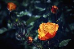 Λουλούδι Κίτρινος αυξήθηκε στον κήπο Στοκ Εικόνες