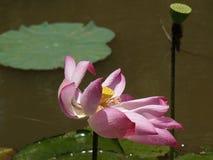 Λουλούδι και εγκαταστάσεις Lotus Στοκ εικόνα με δικαίωμα ελεύθερης χρήσης