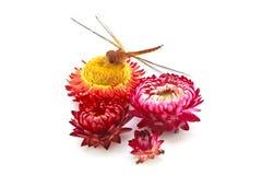 Λουλούδι και λιβελλούλη αχύρου Στοκ Εικόνα