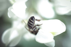 Λουλούδι και μέλισσα ακακιών στοκ εικόνες