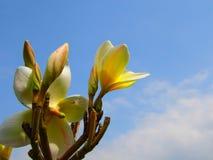 Λουλούδι και μπλε ουρανός Plumeria Στοκ φωτογραφία με δικαίωμα ελεύθερης χρήσης