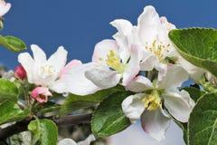 Λουλούδι και ουρανός δέντρων της Apple Στοκ Εικόνα