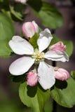 Λουλούδι και οφθαλμοί της Apple Στοκ φωτογραφία με δικαίωμα ελεύθερης χρήσης