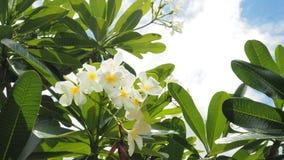 Λουλούδι και σύννεφο Plumaria Panicle Στοκ εικόνα με δικαίωμα ελεύθερης χρήσης