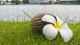 Λουλούδι και Othalanga Plumeria ξηρά στη χλόη Στοκ εικόνα με δικαίωμα ελεύθερης χρήσης