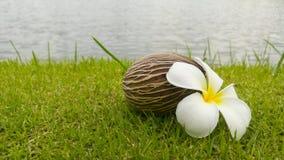 Λουλούδι και Othalanga Plumeria ξηρά στη χλόη Στοκ φωτογραφίες με δικαίωμα ελεύθερης χρήσης